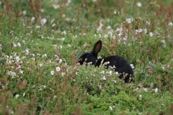 Black Rabbit Eating Clover