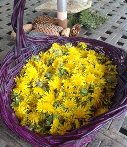 Basket of dandelion flowers